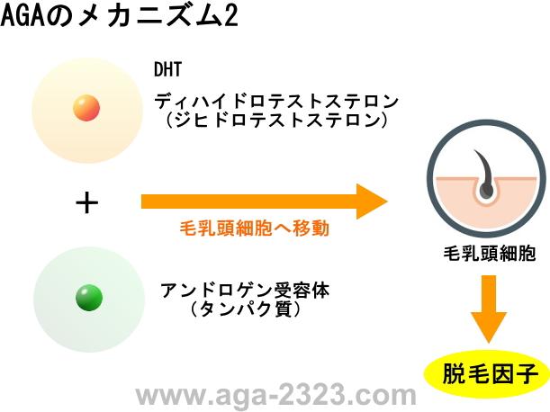 AGA男性型脱毛症のメカニズム2-www.aga-2323.com
