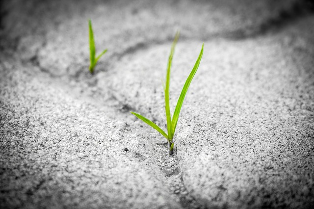 雑草の新芽